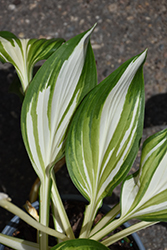 Cool As A Cucumber Hosta (Hosta 'Cool As A Cucumber') at Meadow Acres Garden Centre