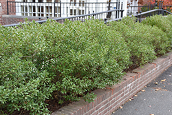 Inkberry Holly (Ilex glabra) at Meadow Acres Garden Centre