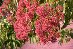 Seven-Son Flower (Heptacodium miconioides) at Meadow Acres Garden Centre