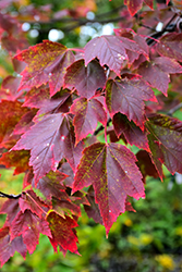 Red Sunset Red Maple (Acer rubrum 'Red Sunset') at Meadow Acres Garden Centre