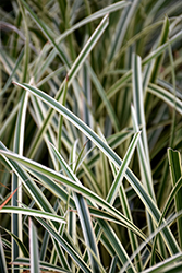 Ice Ballet Sedge (Carex morrowii 'Ice Ballet') at Meadow Acres Garden Centre