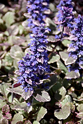 Burgundy Glow Bugleweed (Ajuga reptans 'Burgundy Glow') at Meadow Acres Garden Centre