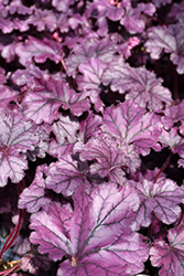 Forever® Purple Coral Bells (Heuchera 'Forever Purple') at Meadow Acres Garden Centre