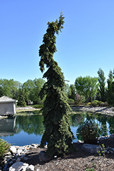 Weeping White Spruce (Picea glauca 'Pendula') at Meadow Acres Garden Centre