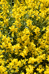 Bangle® Dyers Greenwood (Genista lydia 'Select') at Meadow Acres Garden Centre