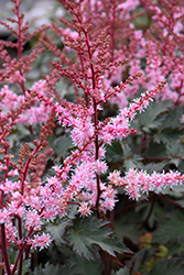 Delft Lace Astilbe (Astilbe 'Delft Lace') at Meadow Acres Garden Centre
