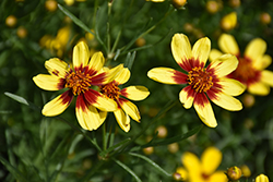 Bengal Tiger® Tickseed (Coreopsis 'Bengal Tiger') at Meadow Acres Garden Centre
