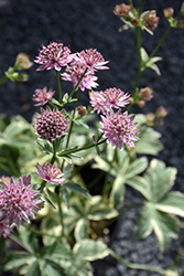 Vanilla Gorilla Variegated Masterwort (Astrantia major 'Vanilla Gorilla') at Meadow Acres Garden Centre