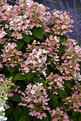 Quick Fire® Hydrangea (Hydrangea paniculata 'Bulk') at Meadow Acres Garden Centre