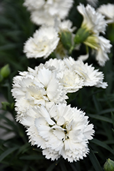 Early Bird™ Frosty Pinks (Dianthus 'Wp10 Ven06') at Meadow Acres Garden Centre