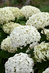 Invincibelle® Wee White Hydrangea (Hydrangea arborescens 'NCHA5') at Meadow Acres Garden Centre