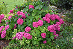 Let's Dance® Rave® Hydrangea (Hydrangea macrophylla 'SMNHMSIGMA') at Meadow Acres Garden Centre