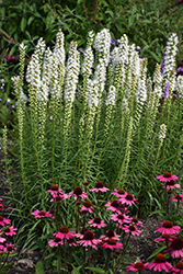 Floristan White Blazing Star (Liatris spicata 'Floristan White') at Meadow Acres Garden Centre