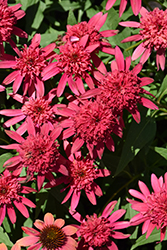 Double Scoop™ Raspberry Coneflower (Echinacea 'Balsceras') at Meadow Acres Garden Centre