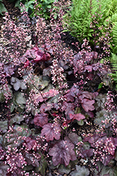 Carnival Candy Apple Coral Bells (Heuchera 'Candy Apple') at Meadow Acres Garden Centre