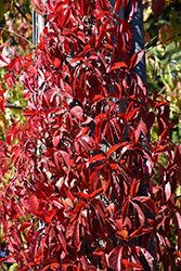 Red Wall® Virginia Creeper (Parthenocissus quinquefolia 'Troki') at Meadow Acres Garden Centre