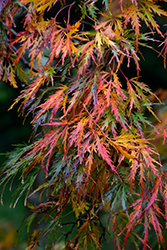 Cutleaf Japanese Maple (Acer palmatum 'Dissectum') at Meadow Acres Garden Centre