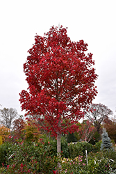 October Glory Red Maple (Acer rubrum 'October Glory') at Meadow Acres Garden Centre