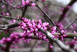Burgundy Hearts Redbud (Cercis canadensis 'Greswan') at Meadow Acres Garden Centre
