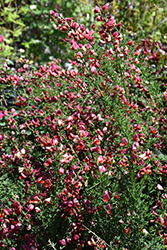 Sister Rosie® Scotch Broom (Cytisus scoparius 'SMNCSDRY') at Meadow Acres Garden Centre