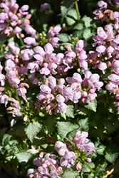 Pink Pewter Spotted Dead Nettle (Lamium maculatum 'Pink Pewter') at Meadow Acres Garden Centre