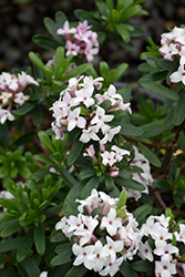 Eternal Fragrance Daphne (Daphne x transatlantica 'BLAFRA') at Meadow Acres Garden Centre